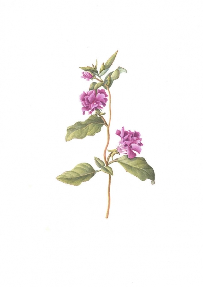 Woodland Clarkia