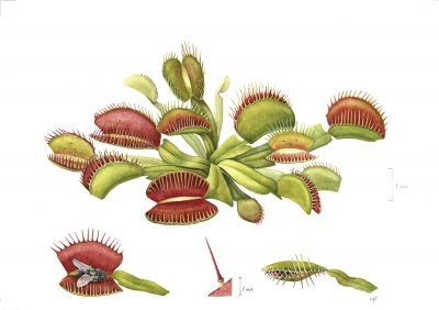 Venus Fly Trap (b)