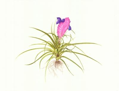 pink-quill-tillandsia-cyanea-photo0529-01-2
