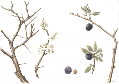 Sloe, Blackthorn