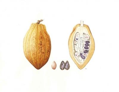 Cacao Tree, Cocoa Tree
