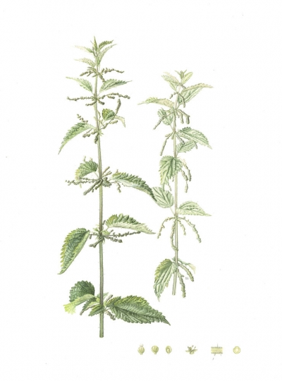Nettle, Common Nettle
