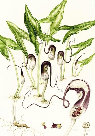 Arisarum proboscideum