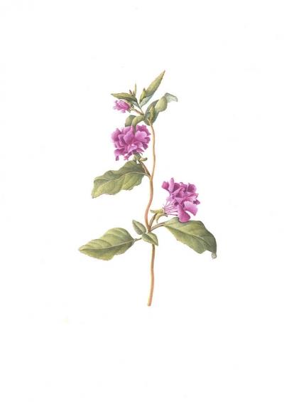 Clarkia unguiculata (mauve)