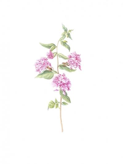 Clarkia unguiculata (pink)