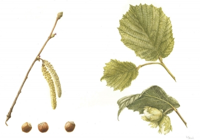 Coryulus avellana