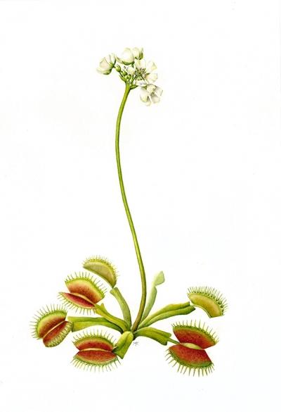 Dionaea muscipula (a)