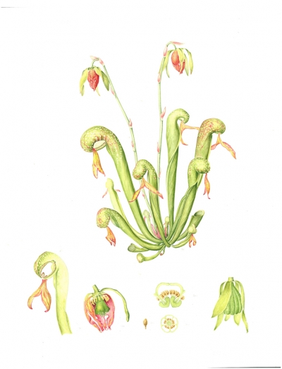 Darlingtonia californica