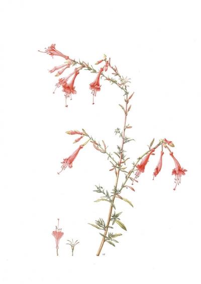 Epilobium californicum
