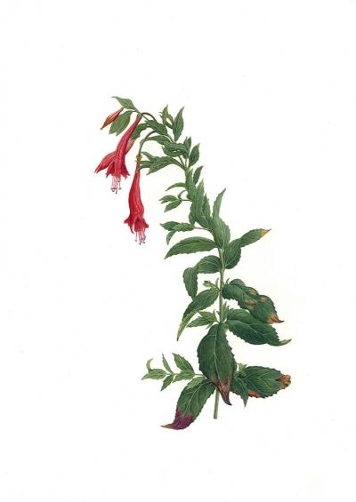 Epilobium canum ssp. latifolium