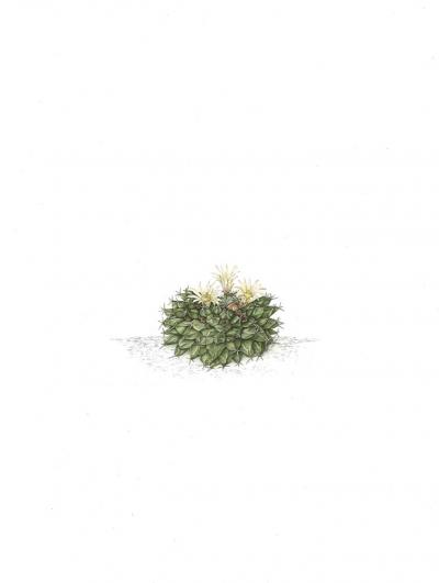 Mammillaria peninsularis