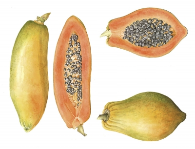 Papaya carica