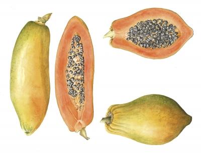 Papaya carica