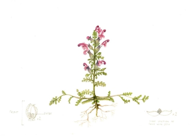 Pedicularis sylvatica