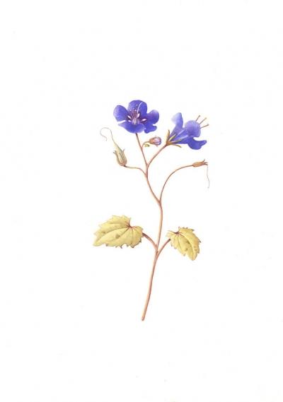 Phacelia campanularia (1)