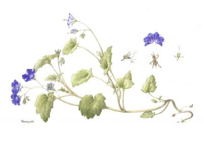 Phacelia campanularia (2)