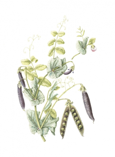 Pisum sativum 'Ezetha's Krombek'