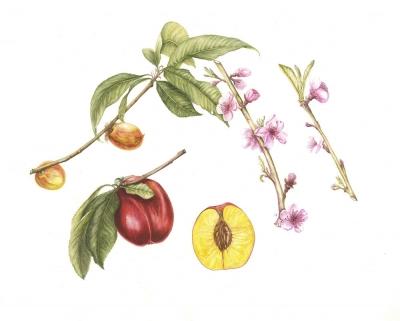 Prunus persica var. nucipersica fantasia