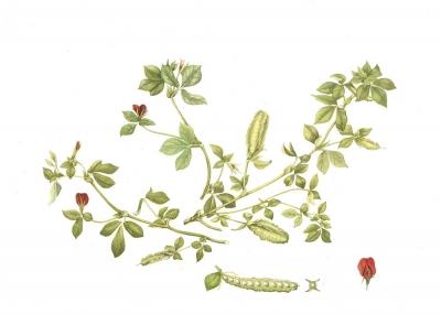 Psophocarpus tetra gonolobus