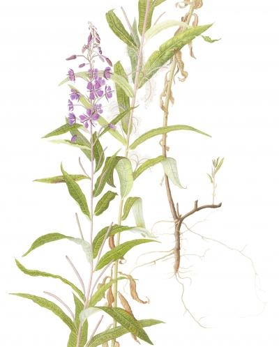 Chemerion augustifolium