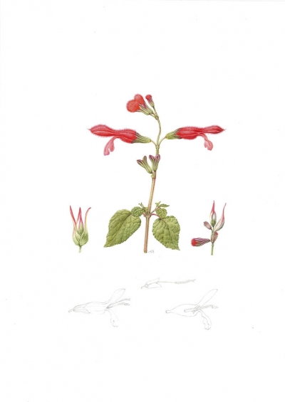 Salvia fulgens (a)