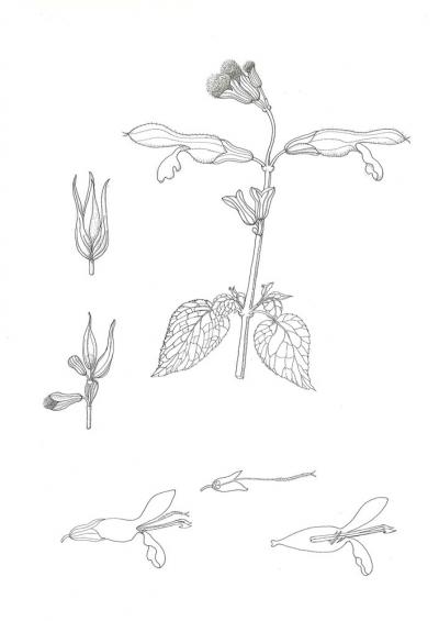 Salvia fulgens (b)