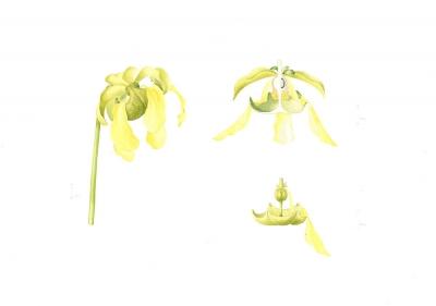 Sarracenia flava maxima (b)