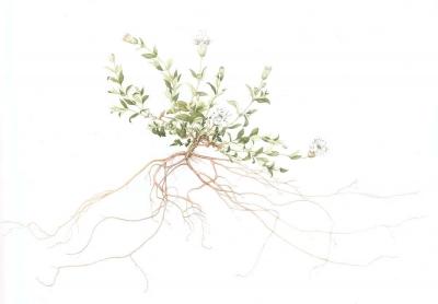 Silene uniflora (silene maritima) (a)