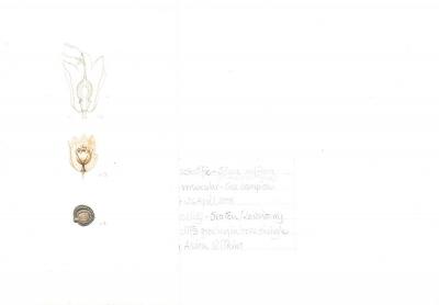 Silene uniflora (silene maritima) (b)