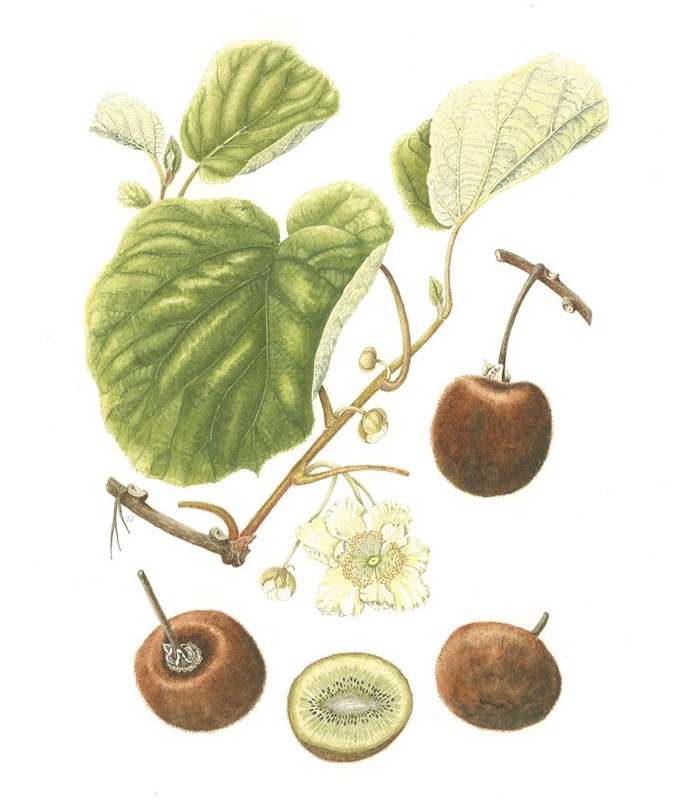 Plant Name: Actinidia deliciosa 'Hayward' Common Name: Kiwi fruit Accession Number: None Artist Name: Jenny Ward Assessment Date: 2007 Acceptance Date: 2008 Herbarium Specimen: No Box Number: 3