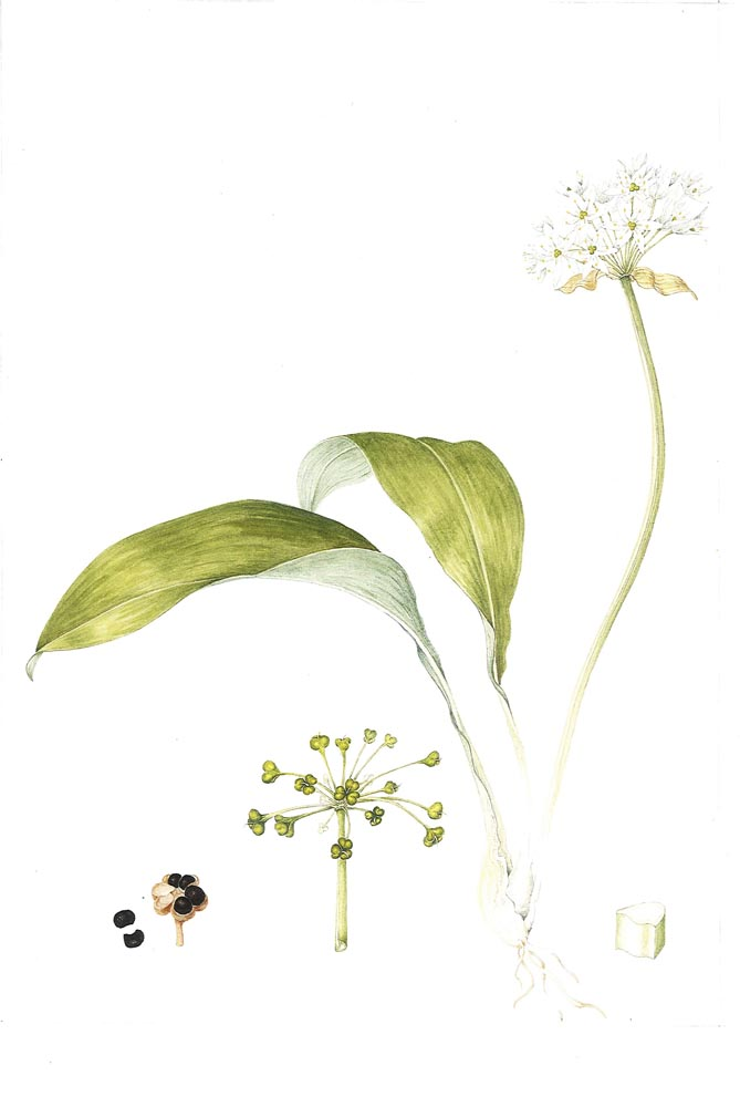 Plant Name: Alliium ursinum Common Name: Ransoms / wild garlic Accession Number: None Artist Name: Ros Franklin Assessment Date: 2010 Acceptance Date: 2011 Herbarium Specimen: No Box Number: 4