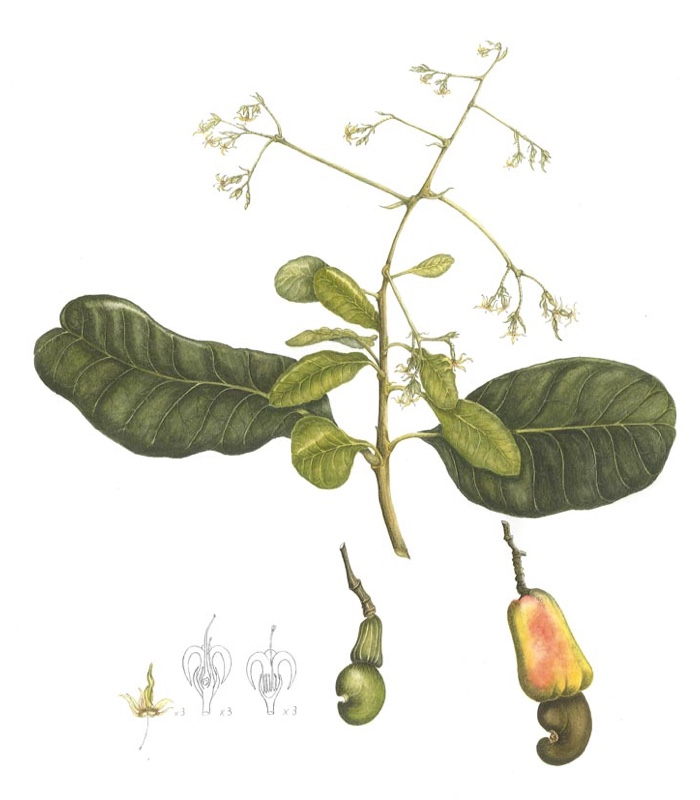 Plant Name: Anacardium occidentale Common Name: Cashewnut tree Accession Number: None Artist Name: Anita Pearman Assessment Date: 2008 Acceptance Date: 2009 Herbarium Specimen: Yes Box Number: 3