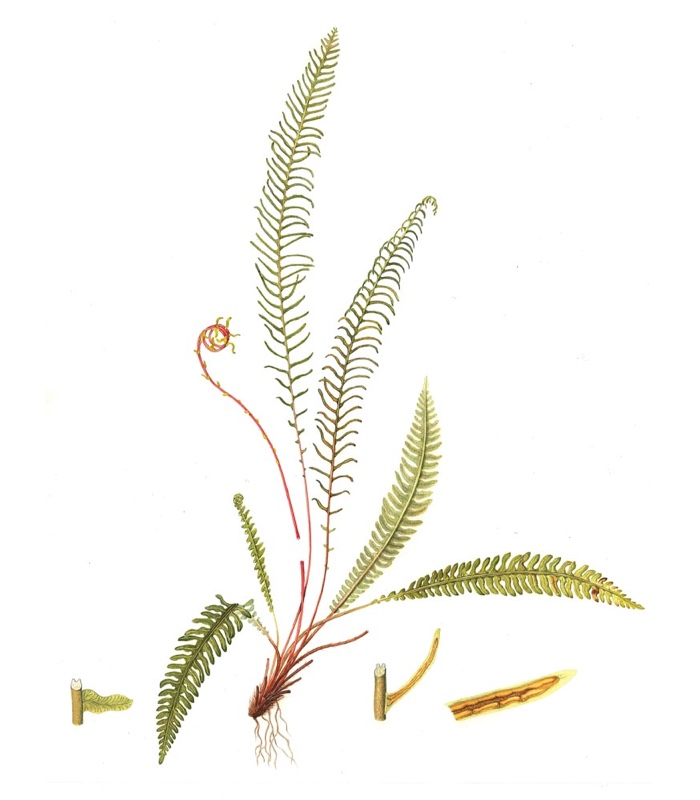 Plant Name: Blechnum spicant Common Name: Hard-fern Accession Number: None Artist Name: Ros Franklin Assessment Date: 2010 Acceptance Date: 2011 Herbarium Specimen: No Box Number: 4