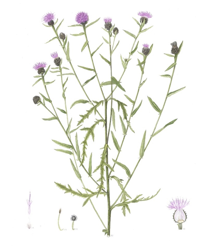 Plant Name: Centaurea nigra Common Name: Black knapweed Accession Number: None Artist Name: Jenny Ward Assessment Date: None Acceptance Date:  Herbarium Specimen:  Box Number: not known