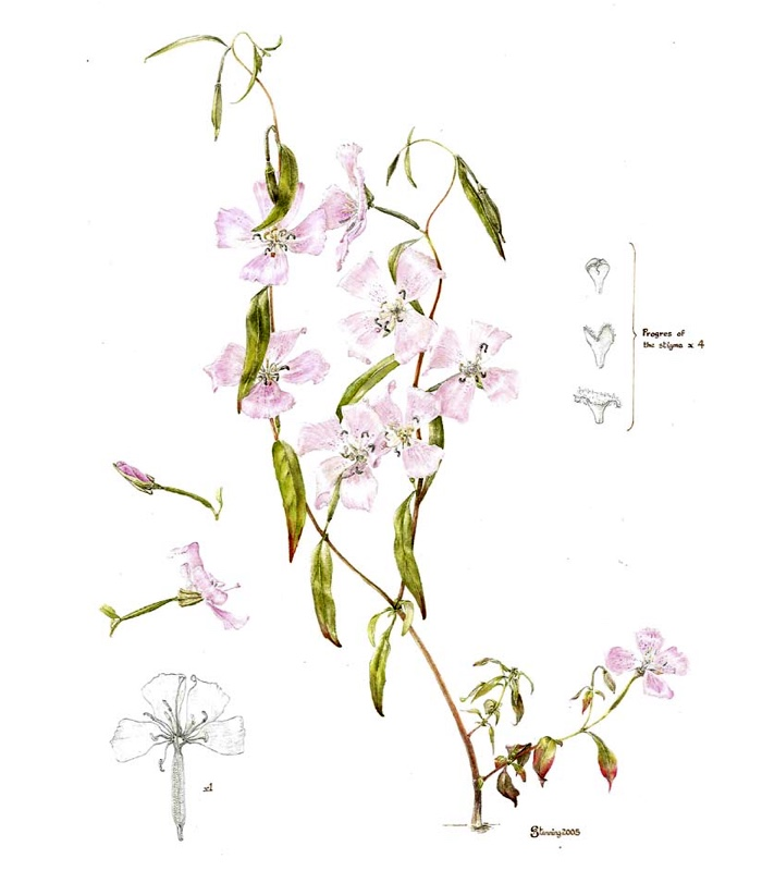 Plant Name: Clarkia bottae Common Name: Farewell to spring Accession Number: None Artist Name: Penny Stenning Assessment Date: None Acceptance Date: 2005 Herbarium Specimen: No Box Number: 2