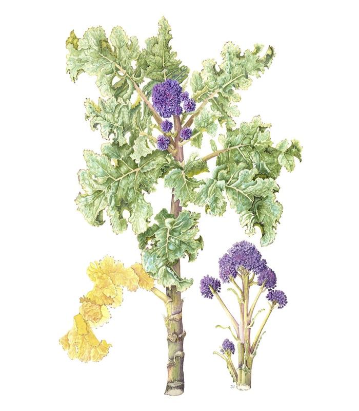Oleracea italica 'Claret'