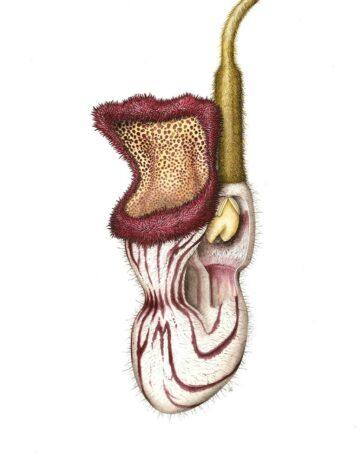 Aristolochia cathcartii