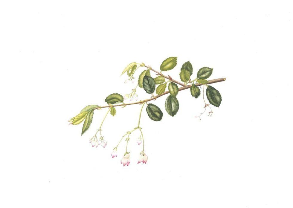 Begonia ingrammi