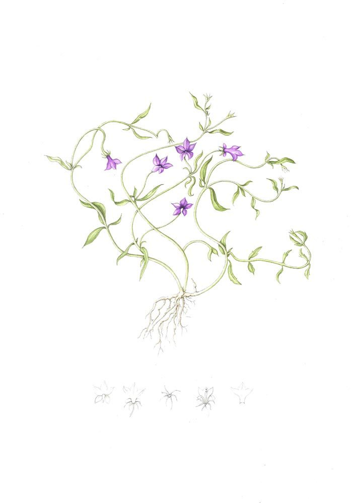 Campanula caeae monopsis unidentata