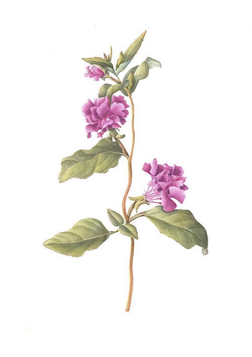 Clarkia unguiculata