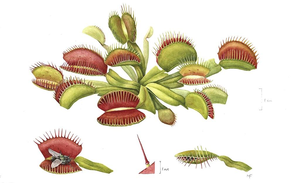 Dionaea muscipula (b)