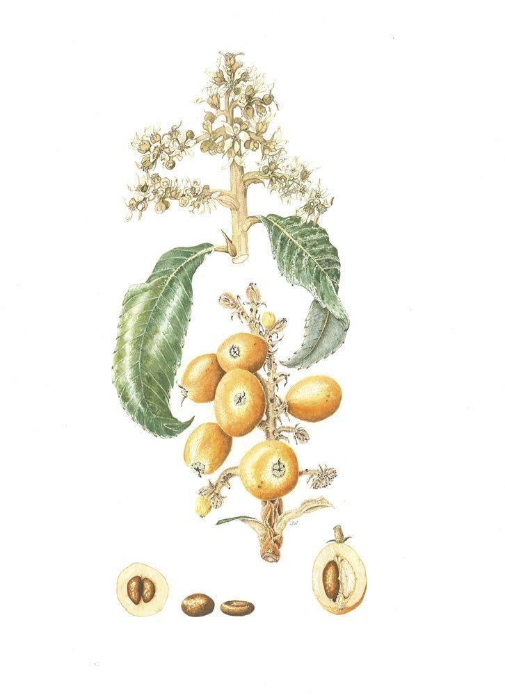 Eriobotrya japonica 'Magdali'