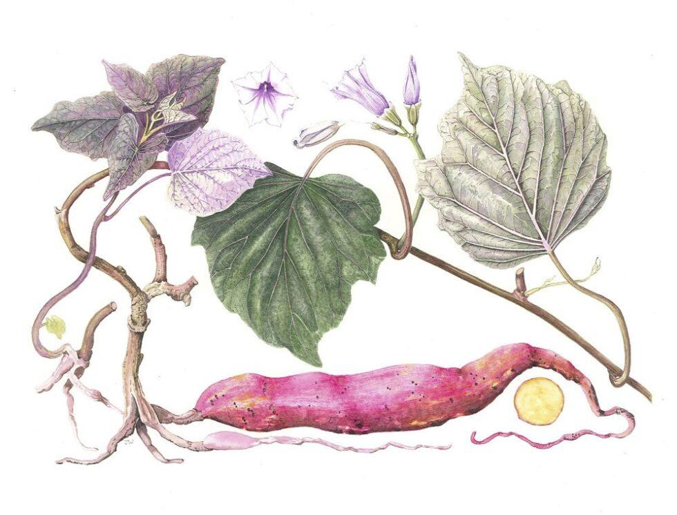 Ipomaea batatas