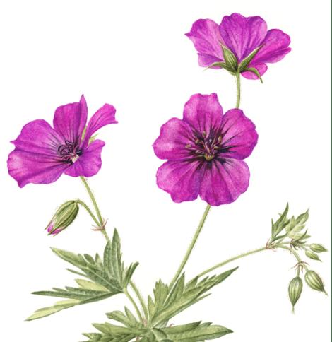 Hardy Geraniums, Laura Silburn