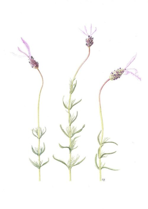 Lavandula stoechas var. pendunculata
