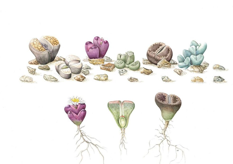 Lithops species and Argyroderma framsiihallii