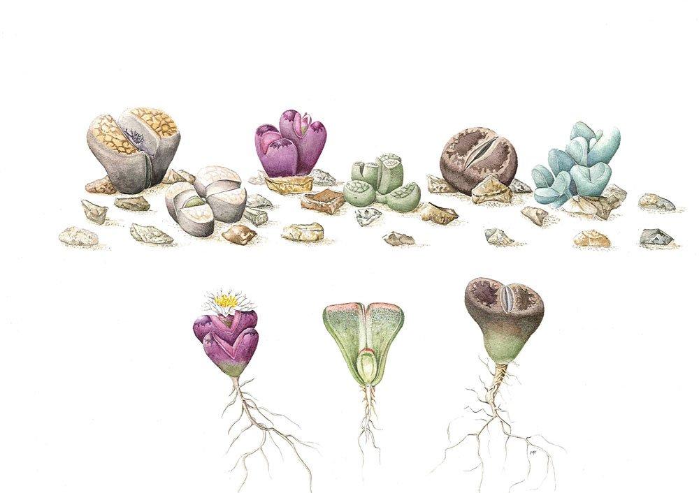 Lithops species and Argyroderma framsiihallii