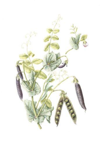 Pisum sativum 'Ezetha's Krombeck'