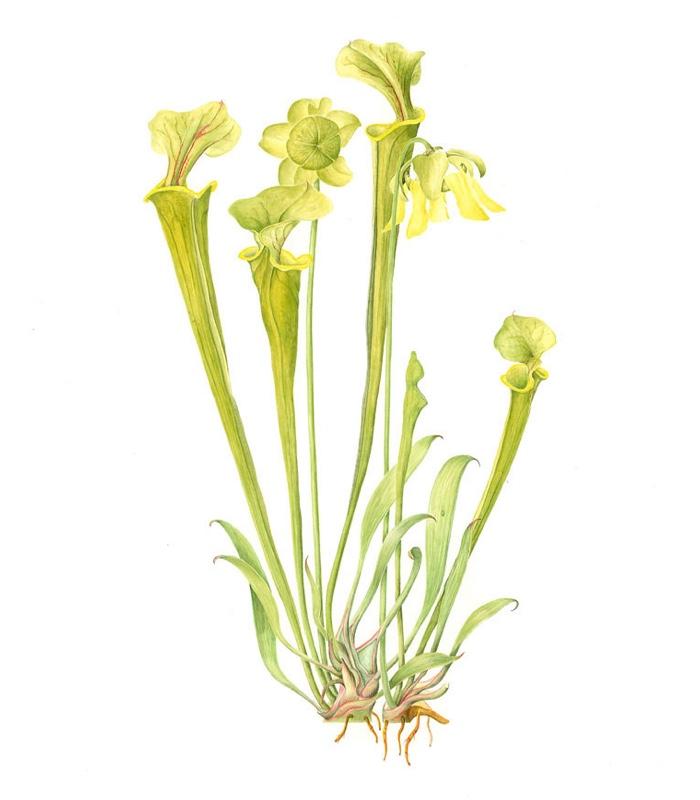 Sarracenia flava maxima (a)
