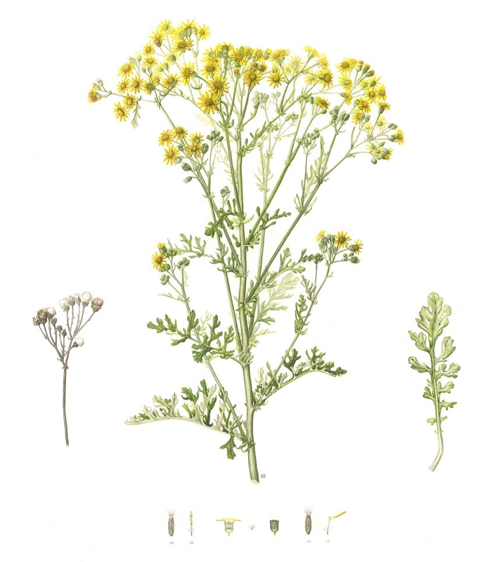 Ragwort by Laura Smith